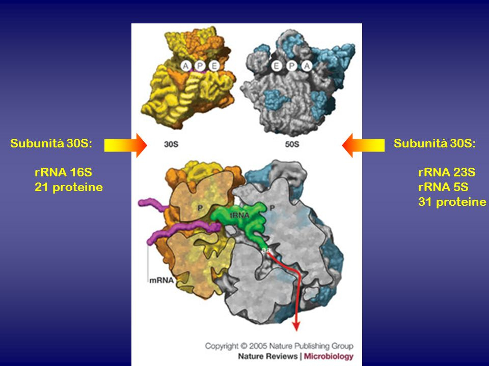 Subunità 30S: rRNA 16S 21 proteine Subunità 30S: rRNA 23S rRNA 5S