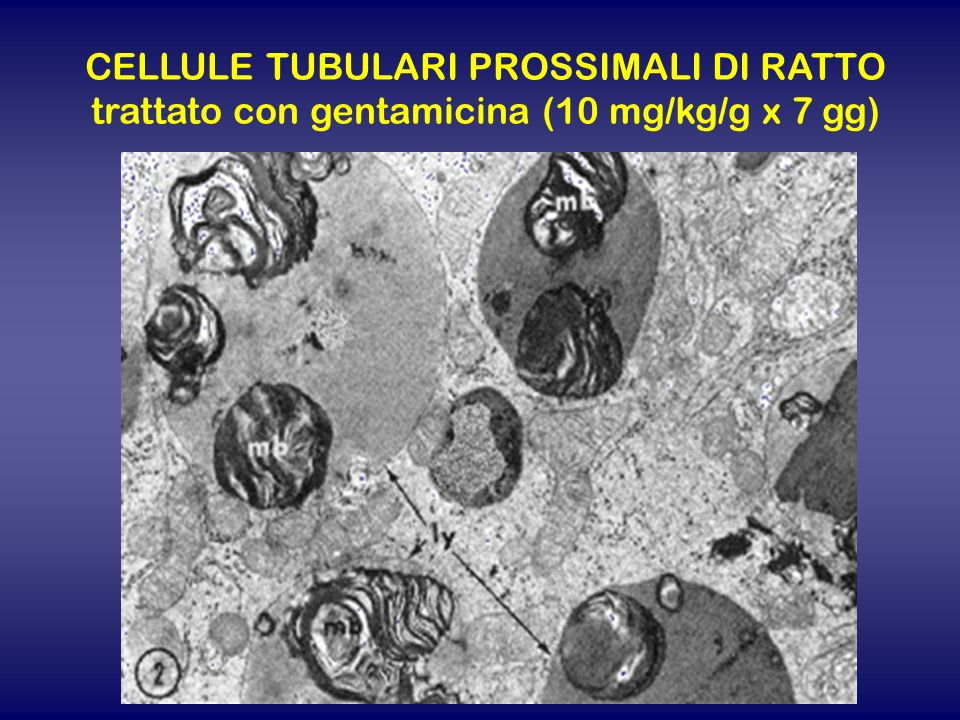 CELLULE TUBULARI PROSSIMALI DI RATTO