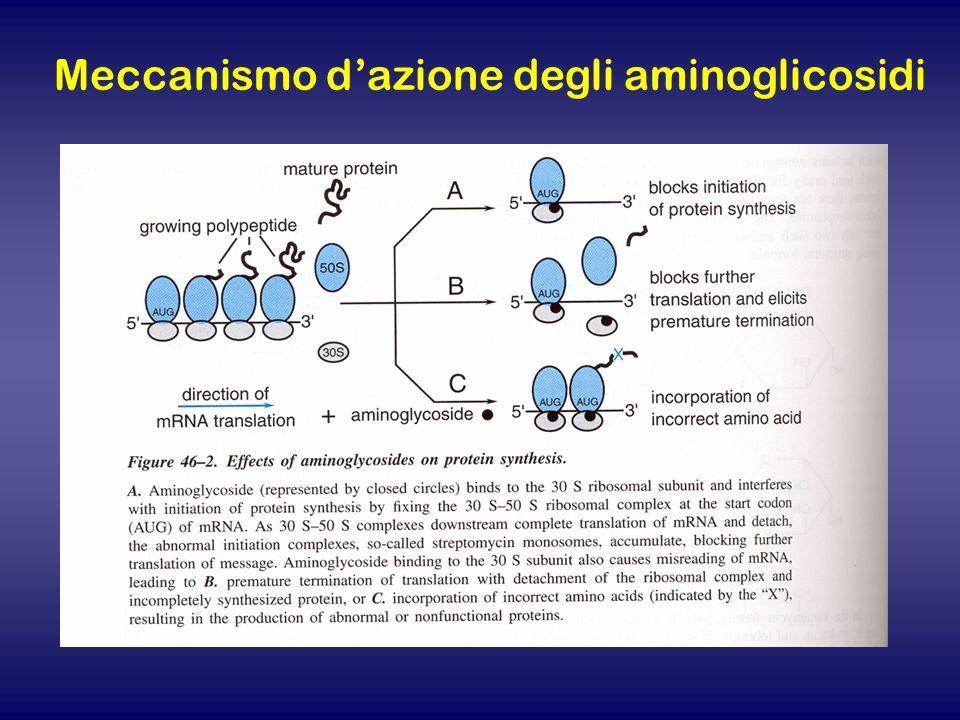 Meccanismo d'azione degli aminoglicosidi