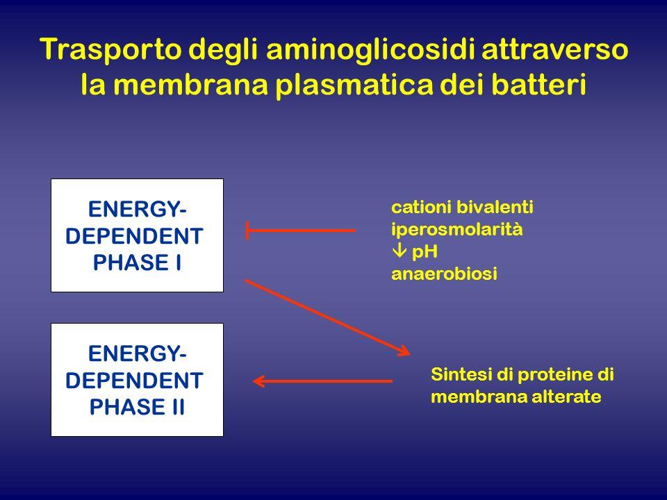 Trasporto degli aminoglicosidi attraverso la membrana plasmatica dei batteri