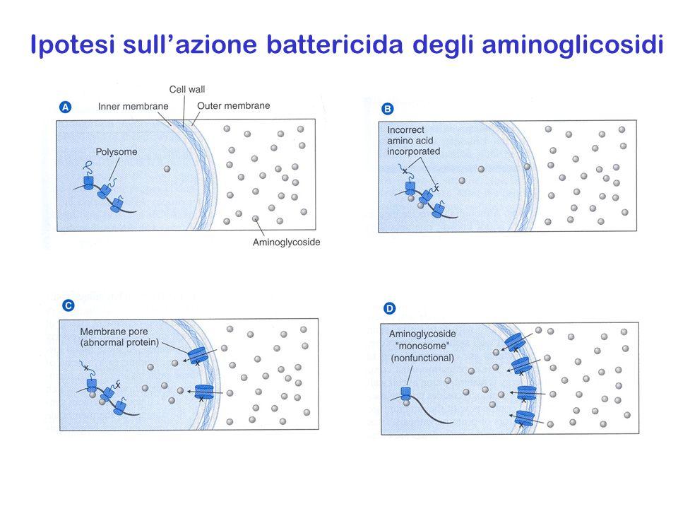 Ipotesi sull'azione battericida degli aminoglicosidi