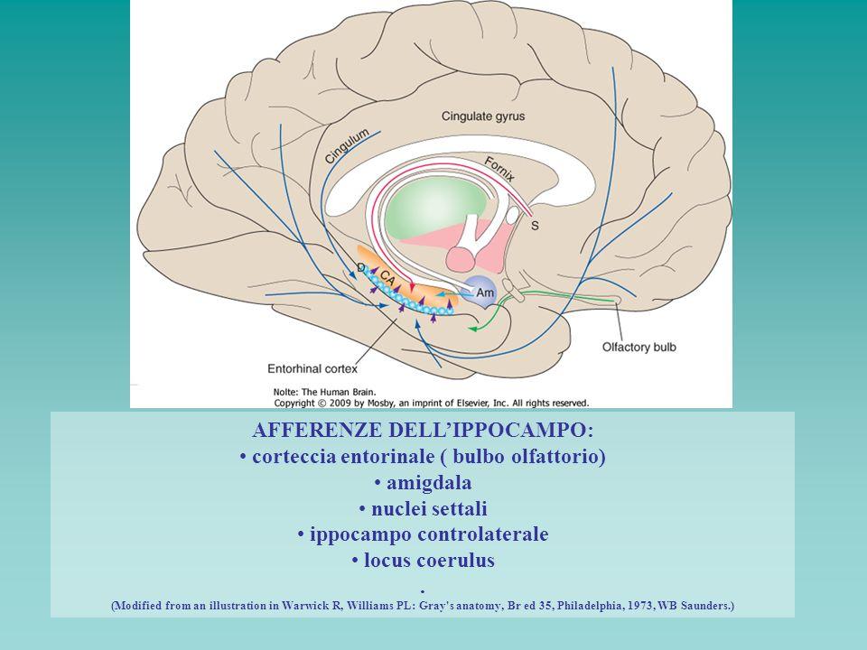 AFFERENZE DELL'IPPOCAMPO: corteccia entorinale ( bulbo olfattorio)