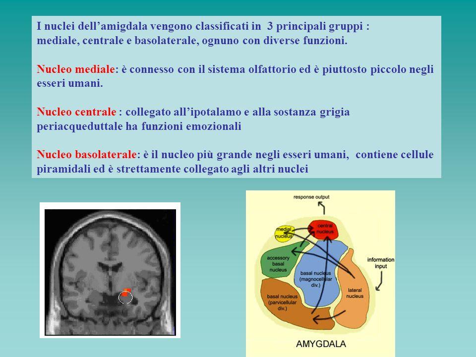 I nuclei dell'amigdala vengono classificati in 3 principali gruppi :