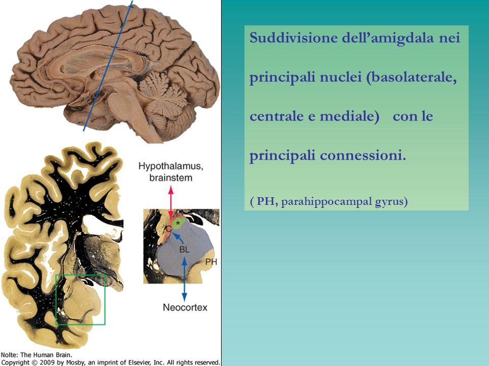 Suddivisione dell'amigdala nei principali nuclei (basolaterale,