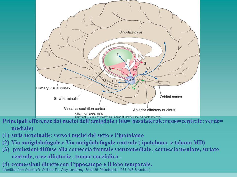 stria terminalis: verso i nuclei del setto e l'ipotalamo
