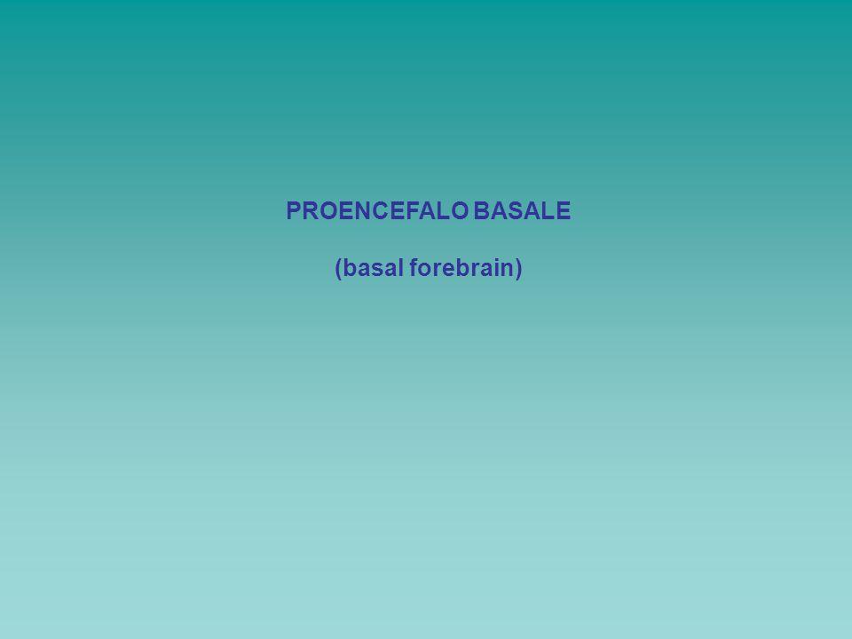 PROENCEFALO BASALE (basal forebrain)