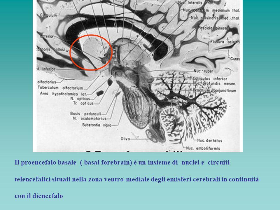 Il proencefalo basale ( basal forebrain) è un insieme di nuclei e circuiti