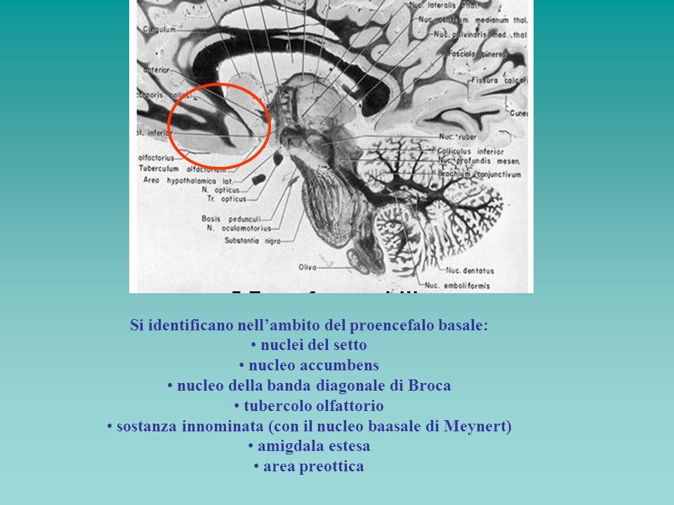 Si identificano nell'ambito del proencefalo basale: nuclei del setto