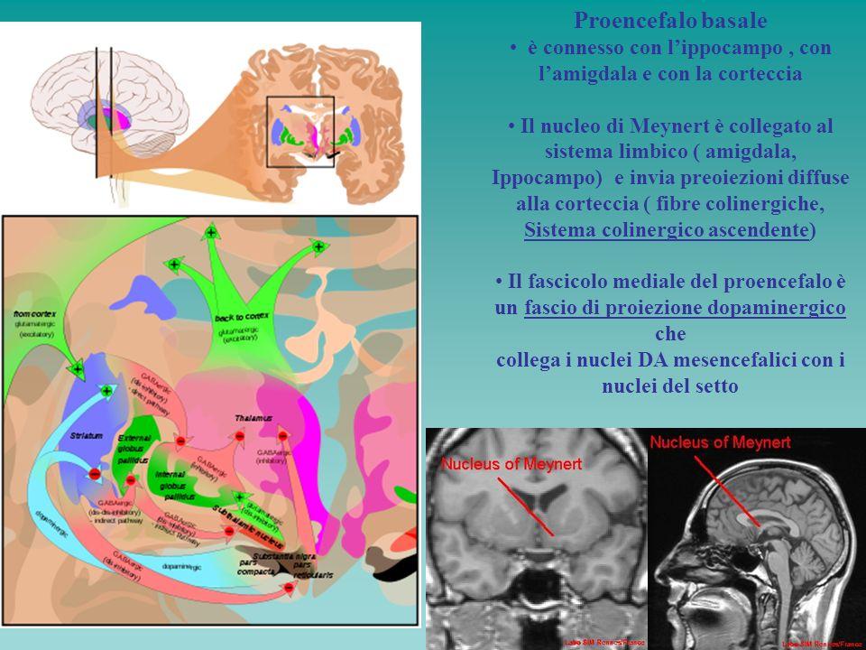 Proencefalo basaleè connesso con l'ippocampo , con l'amigdala e con la corteccia. Il nucleo di Meynert è collegato al sistema limbico ( amigdala,