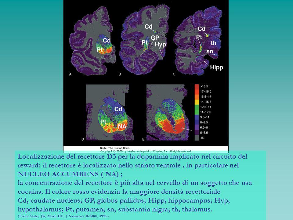 Localizzazione del recettore D3 per la dopamina implicato nel circuito del reward: il recettore è localizzato nello striato ventrale , in particolare nel NUCLEO ACCUMBENS ( NA) ;