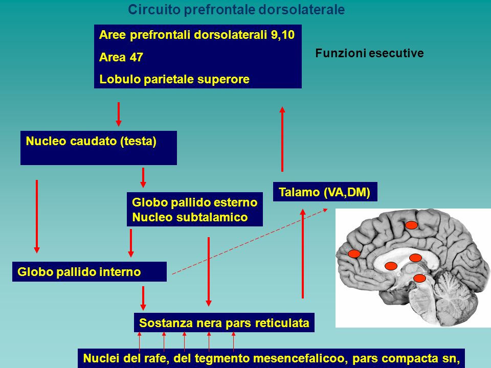 Circuito prefrontale dorsolaterale