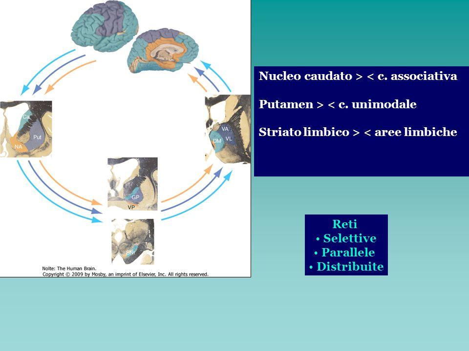 Nucleo caudato > < c. associativa