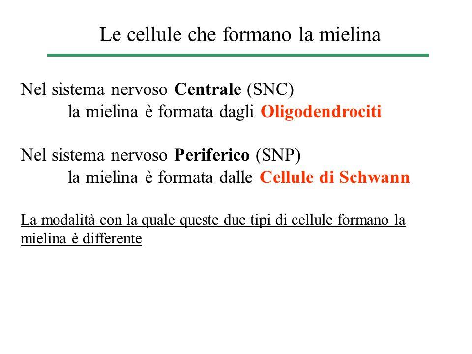 Le cellule che formano la mielina