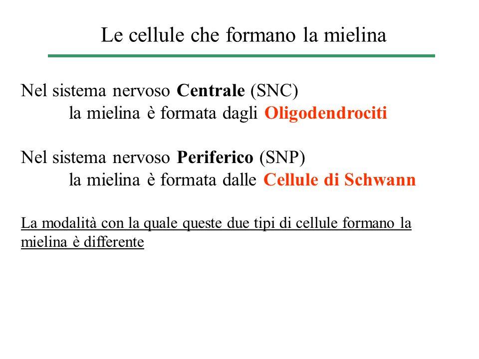 Le cellule che formano la mielina