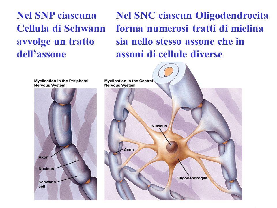 Nel SNP ciascuna Cellula di Schwann avvolge un tratto dell'assone
