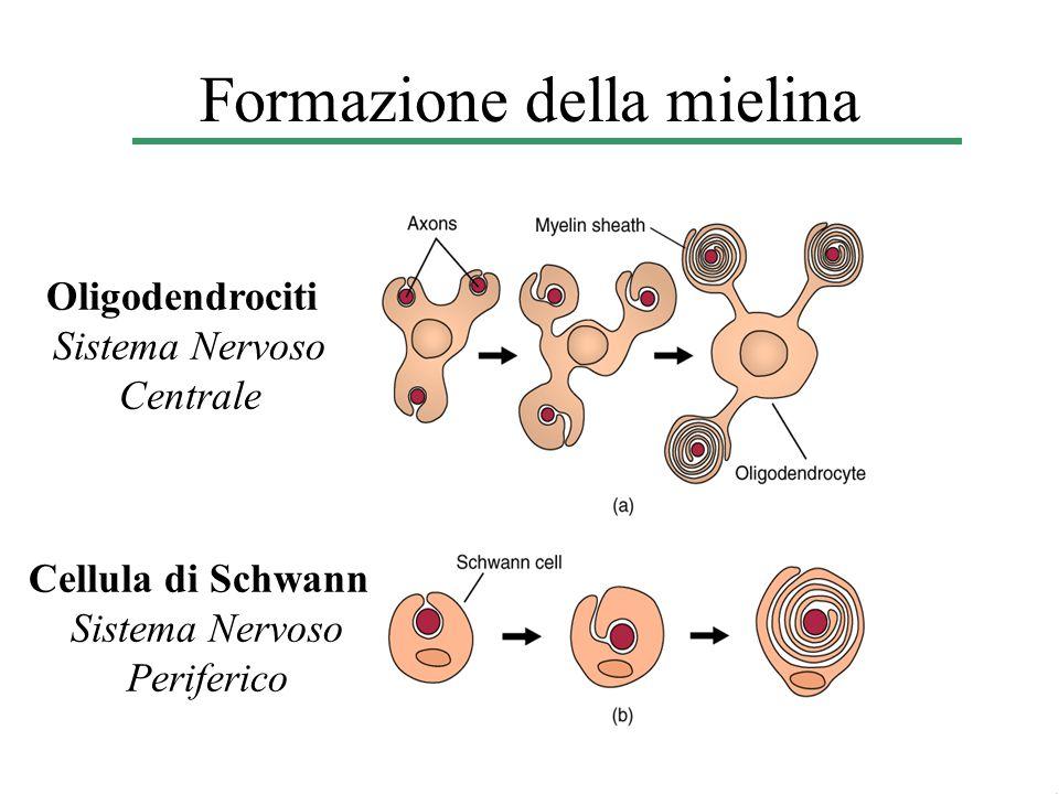 Formazione della mielina