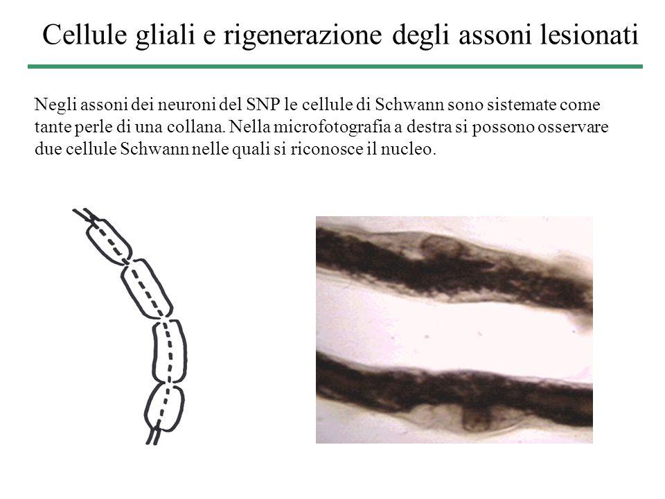 Cellule gliali e rigenerazione degli assoni lesionati