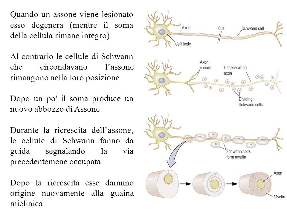 Quando un assone viene lesionato esso degenera (mentre il soma della cellula rimane integro)