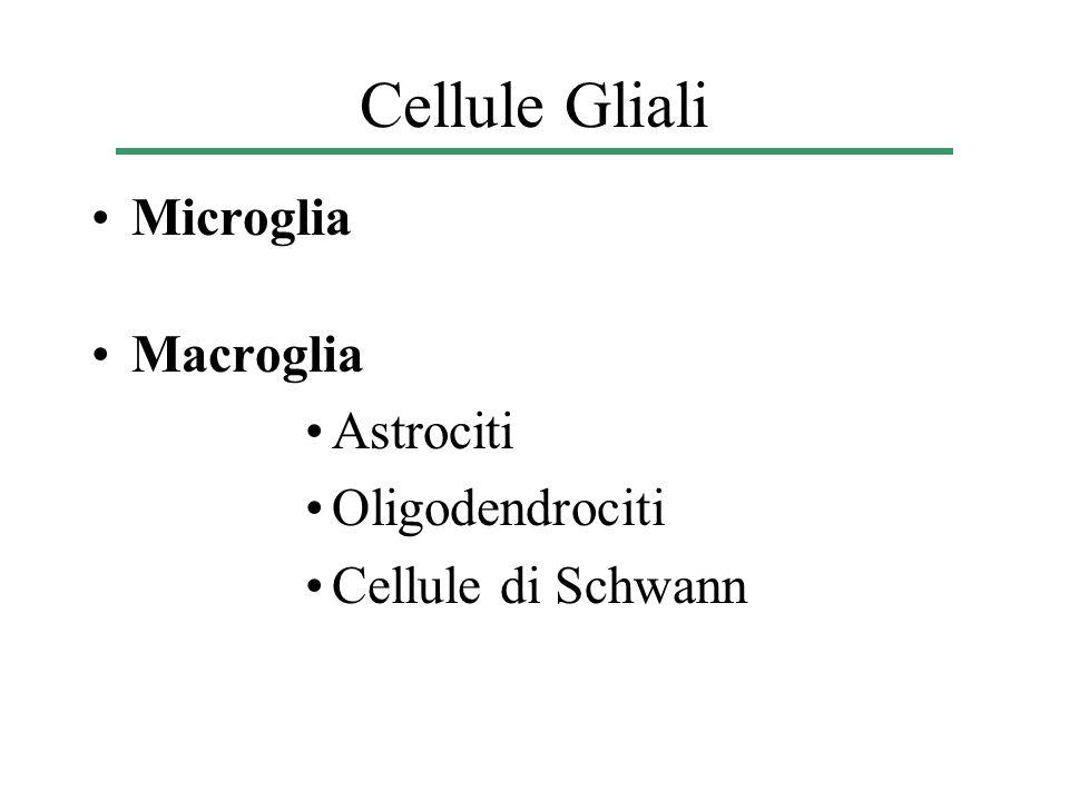 Cellule Gliali Microglia Macroglia Astrociti Oligodendrociti