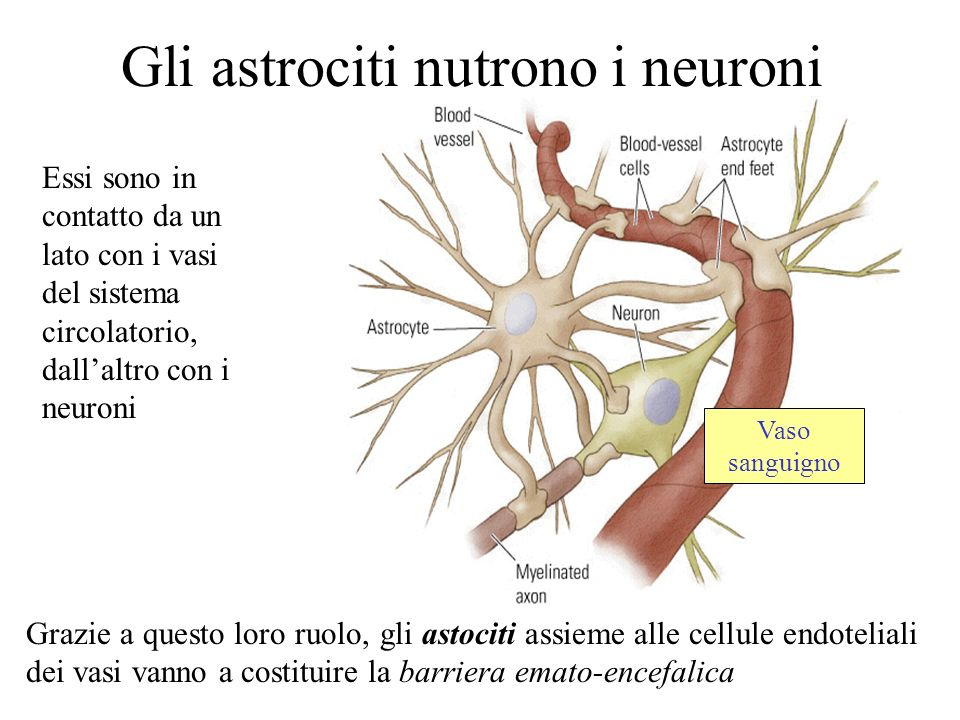 Gli astrociti nutrono i neuroni