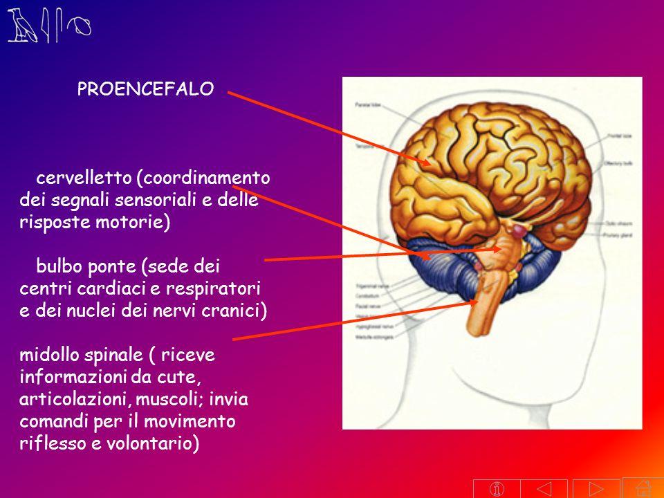 PROENCEFALO. cervelletto (coordinamento dei segnali sensoriali e delle risposte motorie)