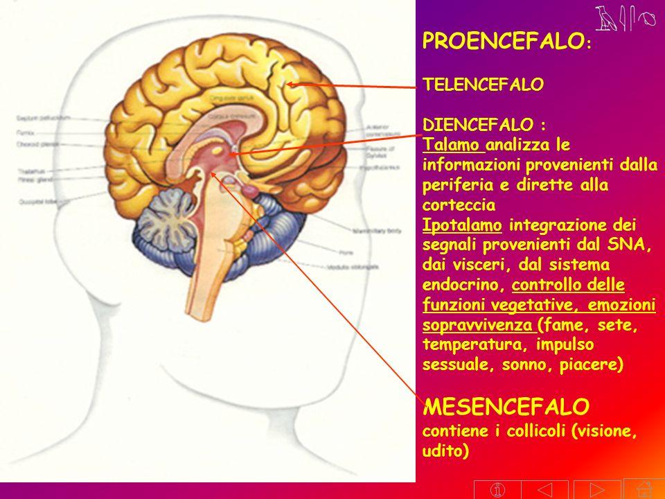 MESENCEFALO contiene i collicoli (visione, udito)