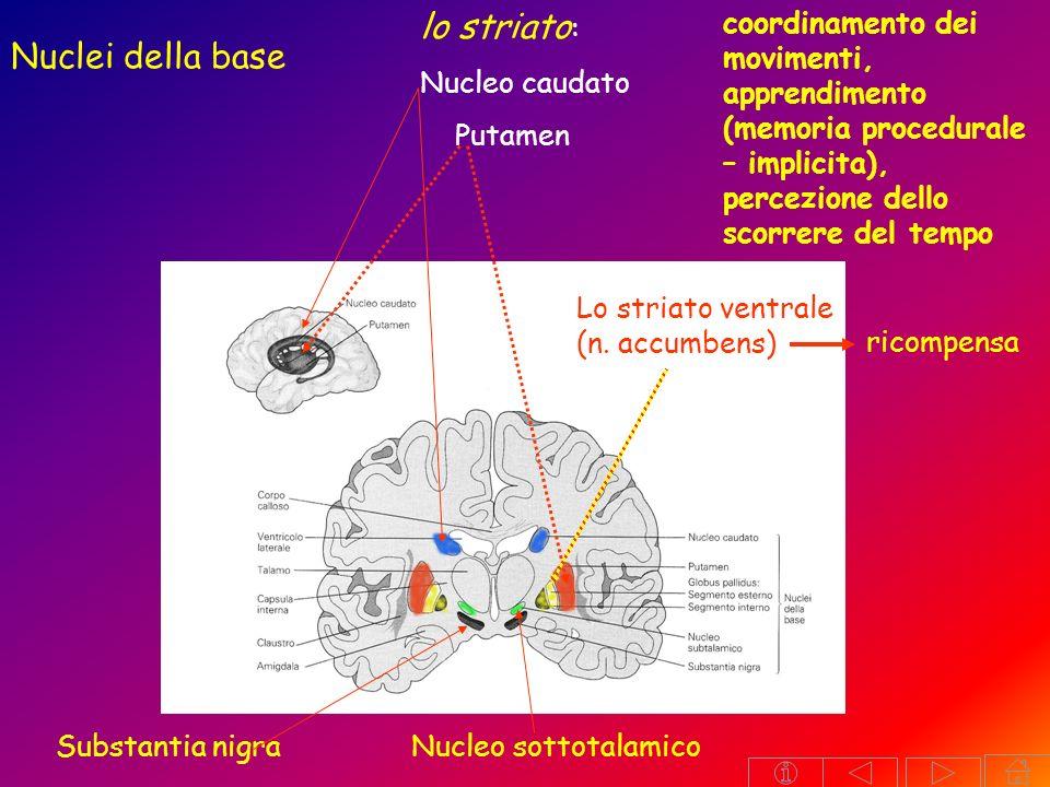 lo striato: Nuclei della base