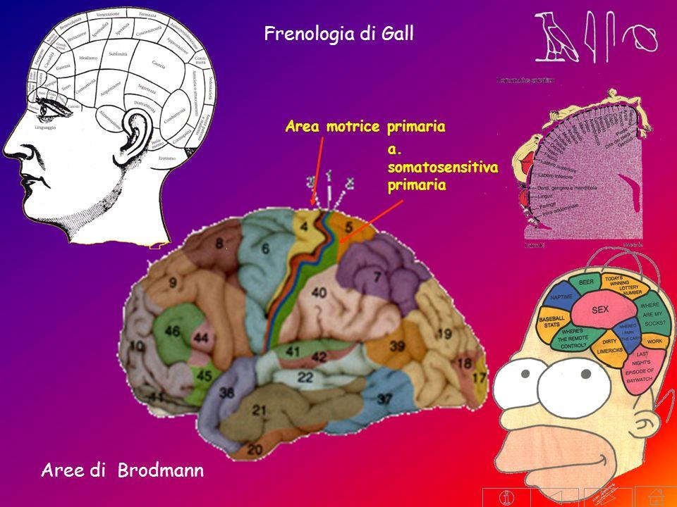 Frenologia di Gall Aree di Brodmann Area motrice primaria