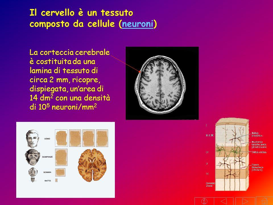 Il cervello è un tessuto composto da cellule (neuroni)