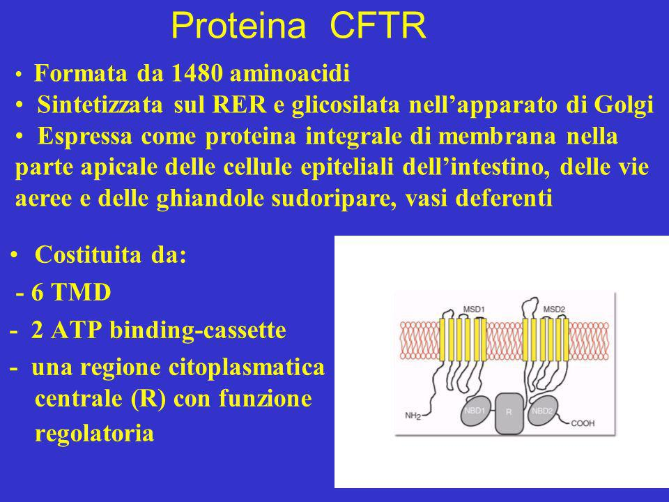 Proteina CFTR Formata da 1480 aminoacidi. Sintetizzata sul RER e glicosilata nell'apparato di Golgi.