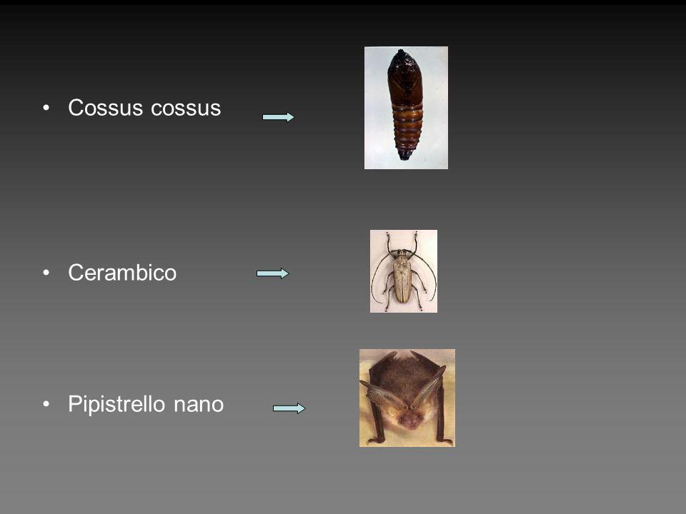 Cossus cossus Cerambico Pipistrello nano