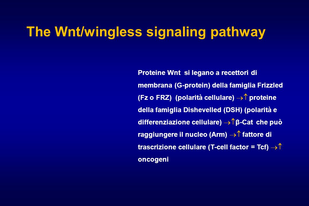 The Wnt/wingless signaling pathway
