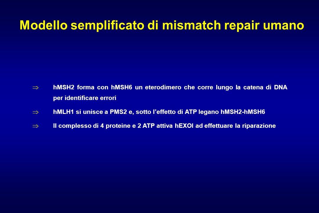 Modello semplificato di mismatch repair umano