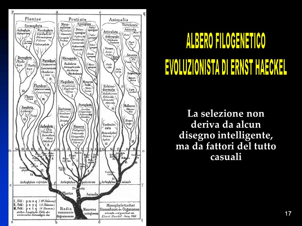 EVOLUZIONISTA DI ERNST HAECKEL