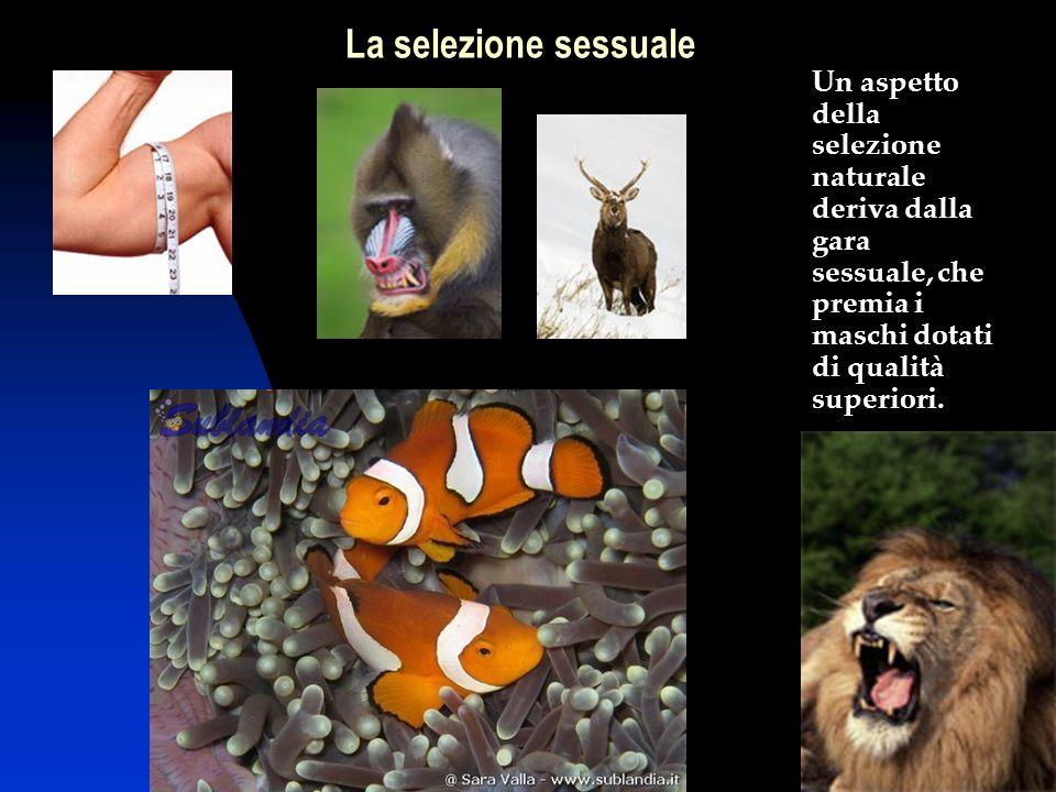 La selezione sessuale Un aspetto della selezione naturale deriva dalla gara sessuale, che premia i maschi dotati di qualità superiori.