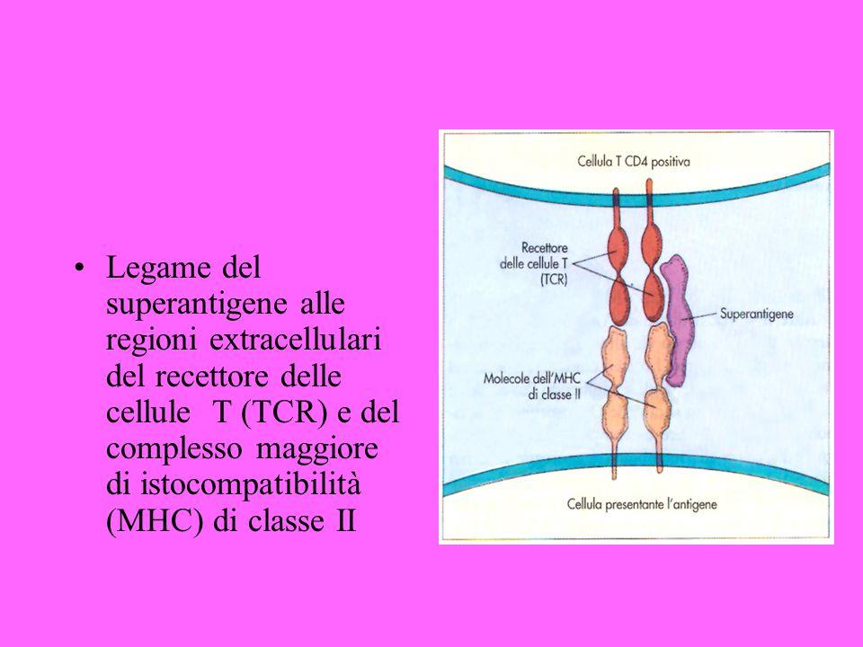 Legame del superantigene alle regioni extracellulari del recettore delle cellule T (TCR) e del complesso maggiore di istocompatibilità (MHC) di classe II