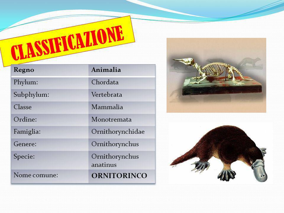 CLASSIFICAZIONE ORNITORINCO Regno Animalia Phylum: Chordata Subphylum: