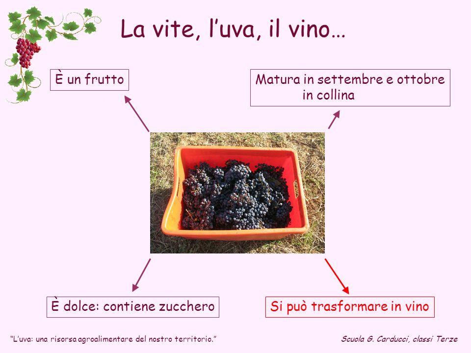 La vite, l'uva, il vino… È un frutto Matura in settembre e ottobre