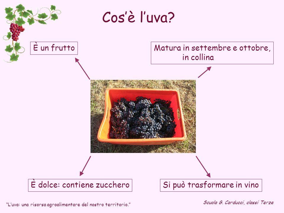 Cos'è l'uva È un frutto Matura in settembre e ottobre, in collina