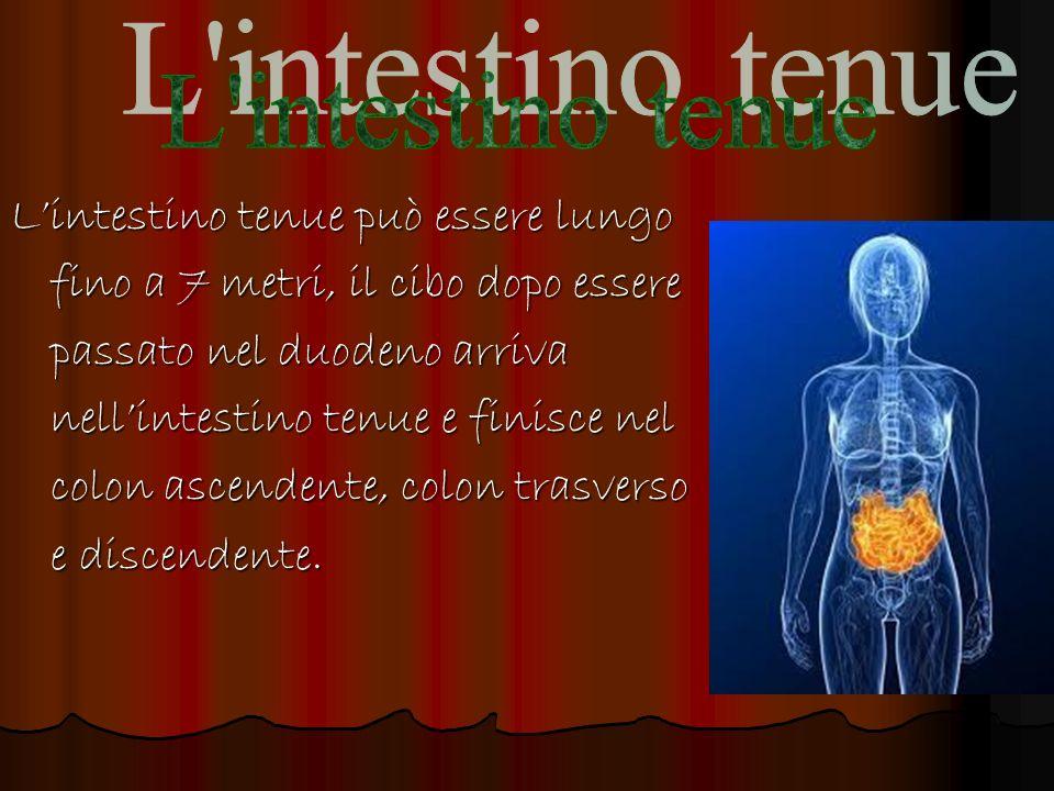 L intestino tenue L'intestino tenue può essere lungo