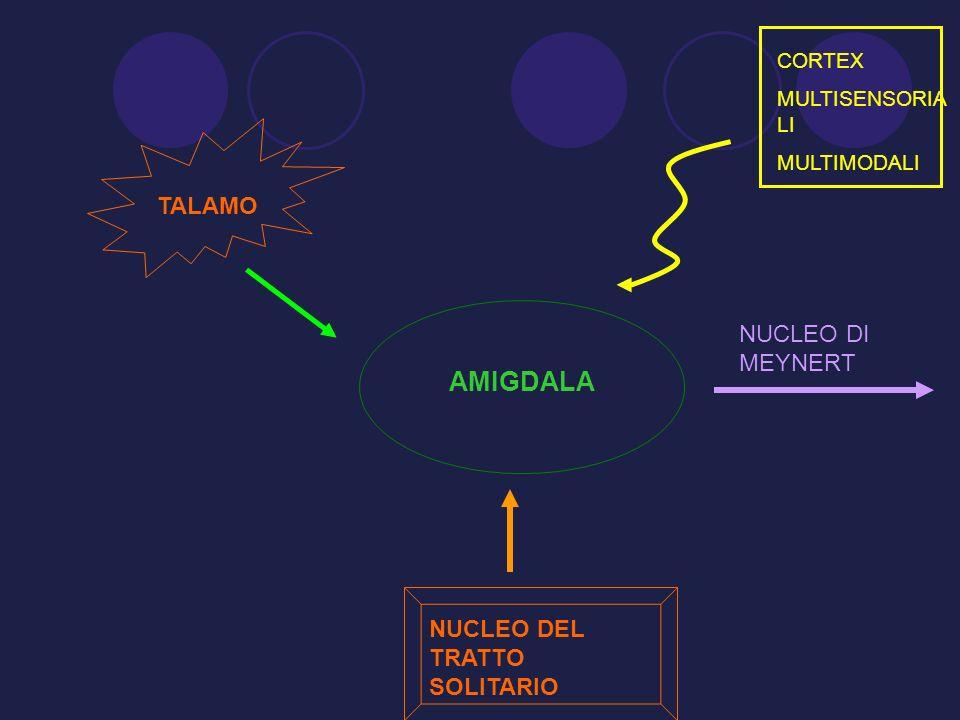 AMIGDALA TALAMO NUCLEO DI MEYNERT NUCLEO DEL TRATTO SOLITARIO CORTEX
