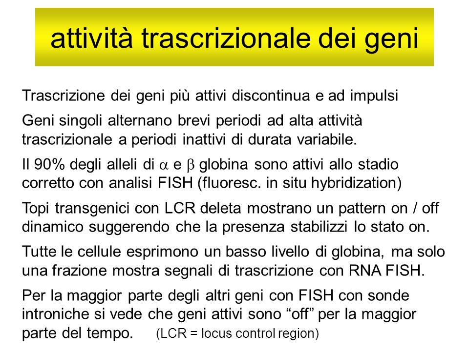 attività trascrizionale dei geni