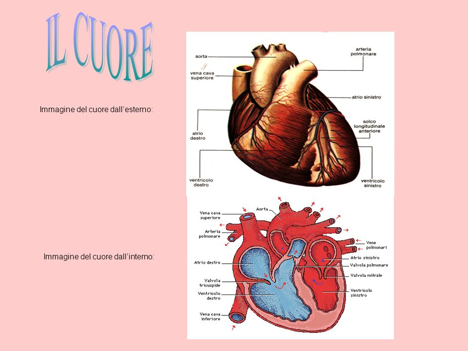 IL CUORE Immagine del cuore dall'esterno: