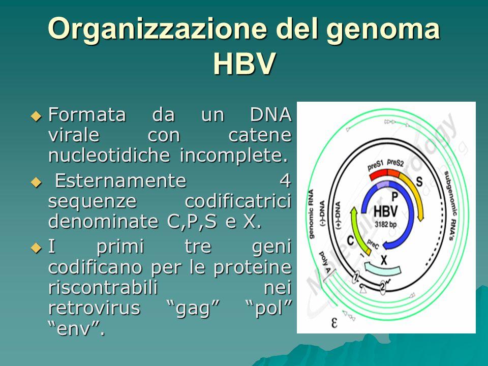 Organizzazione del genoma HBV