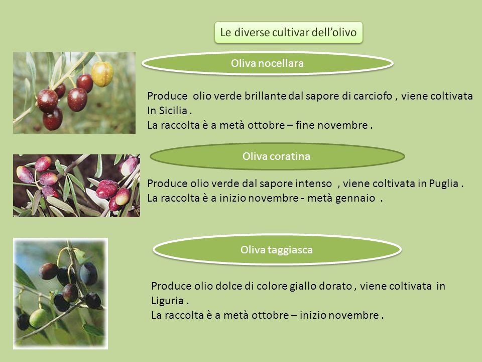 Le diverse cultivar dell'olivo