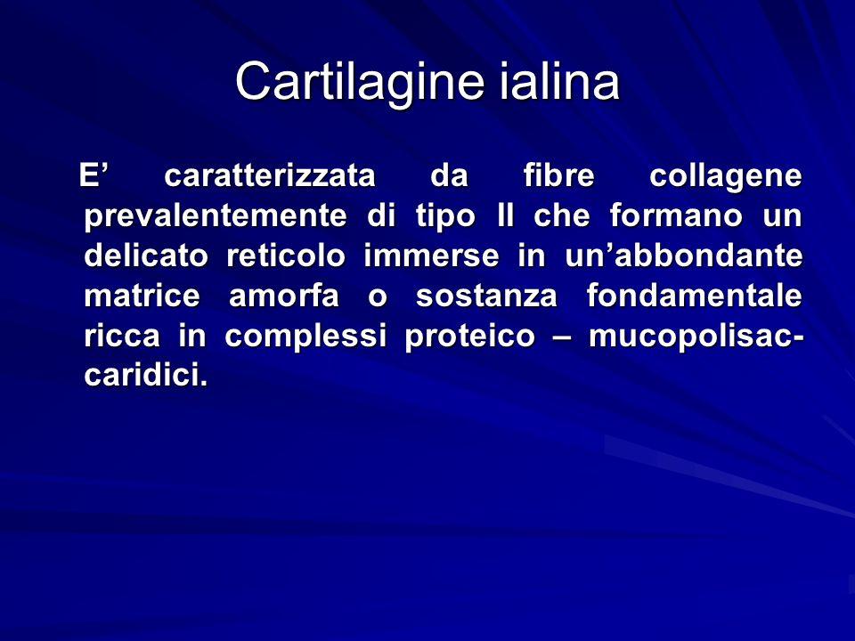 Cartilagine ialina