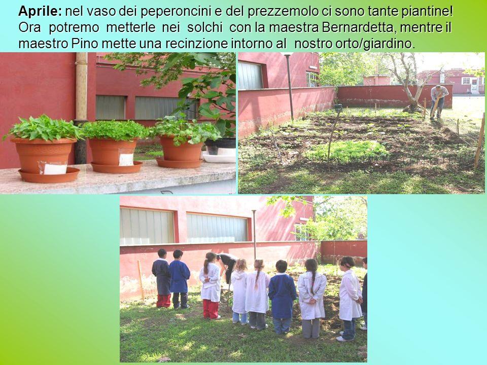 Aprile: nel vaso dei peperoncini e del prezzemolo ci sono tante piantine! Ora potremo metterle nei solchi con la maestra Bernardetta, mentre il maestro Pino mette una recinzione intorno al nostro orto/giardino.