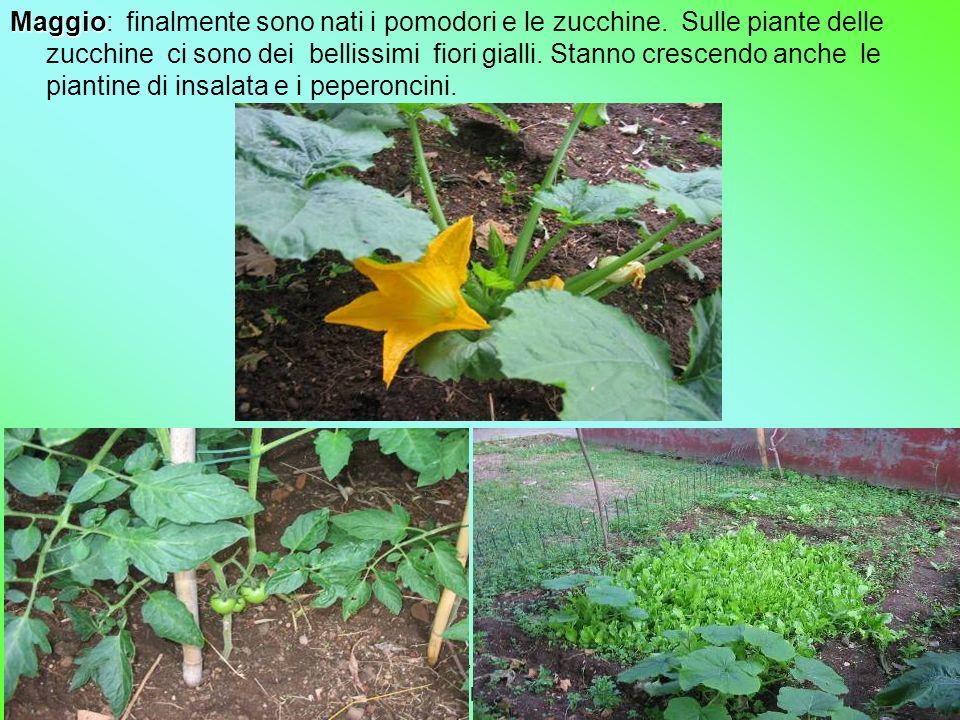 Maggio: finalmente sono nati i pomodori e le zucchine