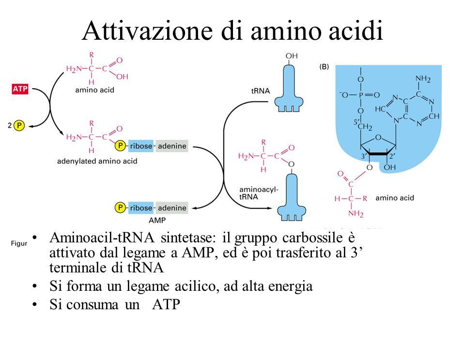 Attivazione di amino acidi
