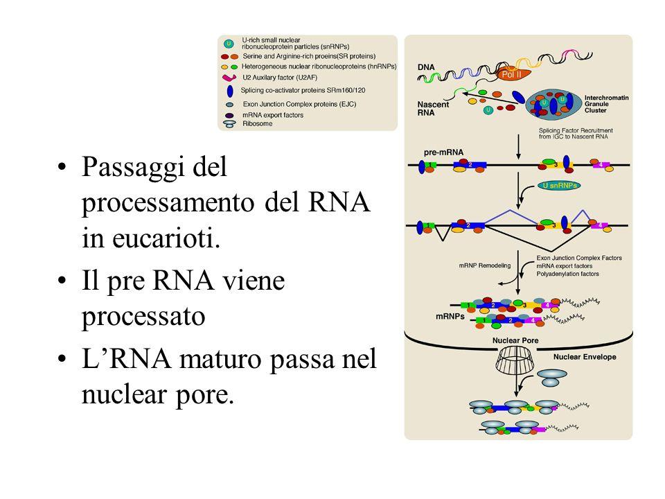 Passaggi del processamento del RNA in eucarioti.